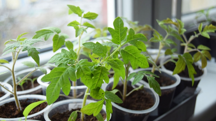 growing tomato from seeds