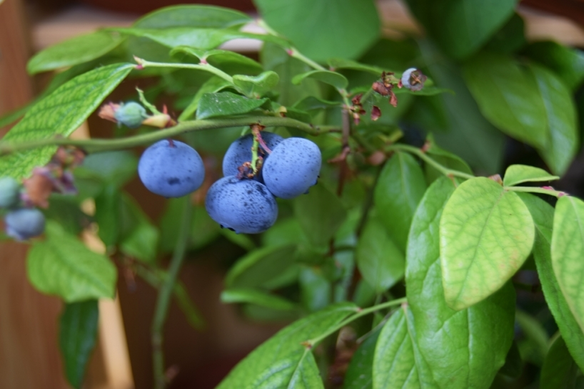 Blueberries grown in partial shade