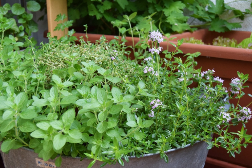herbs mix grown in a large bowl