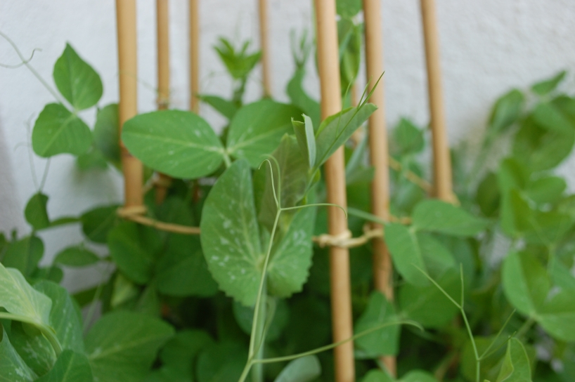 Peas growing in a container