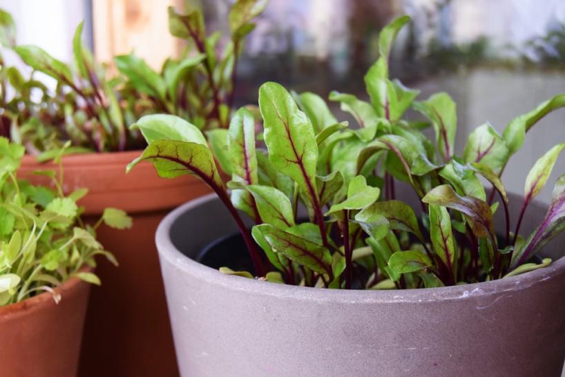 beetroot grown for leaves